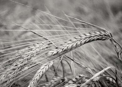 El comienzo del año bíblico es por observación de la cebada en Israel